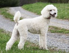 Have a Poodle? Know about how to feed a Poodle. #Petsworld #Petcare
