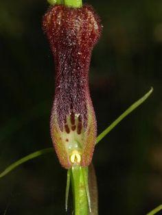 Cryptostylis hunteriana - a rare Ground Orchid