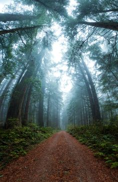 Misty redwood forest grove atJedediah Smith Redwood State Park, #California