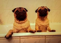 Our first bath this year  #mauricethepug #bubble #queenb #bath #bubblebath #wet #wetdogs #wetpugs #squeekyclean #romania #tirgumures #puglife #pugchat #pugstory #pug #mops #dog #puppy
