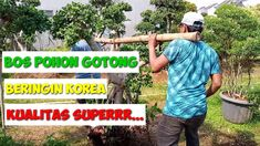 bos pohon gotong beringin korea kualitas super   bonsai   ficus coreana ...