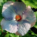 Hibiscus 'Blue Button'