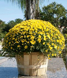 Yellow mums - my favorite Fall Mums, Fall Flower Arrangements, Love Energy, Happy Fall Y'all, Cottage House, Fall Decorations, Fall Flowers, Autumn Inspiration, Camden
