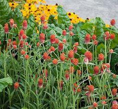 Gomphrena haageana 'QIS Orange'   QIS Orange Globe Amaranth  plant ...