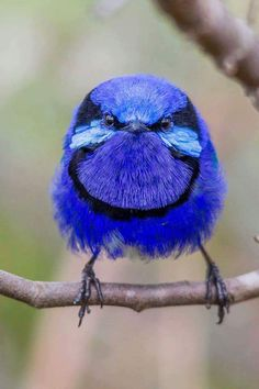 Splendid Fairywren (Malurus...it really looks like someone had stolen its worms, it's an rather angry bird lol