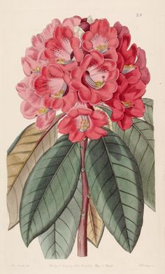 Rhododendron rollissonii. Edwards's botanical register v. 29 (1843) London :James Ridgway,1829-1847. Biodiversitylibrary. Biodivlibrary. BHL. Biodiversity Heritage Library