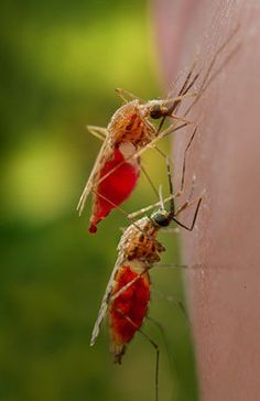 With mosquito Y chromosome sequencing, researchers lay groundwork for advanced disease control