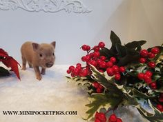 Mini & Micro Juliana Baby Pigs For Sale - Mini Pocket Pigs : Mini Pocket Pigs Baby Pigs For Sale, Cute Baby Pigs, Guinea Pig Care, Guinea Pigs, Micro Piglets, Pocket Pig, Pig Showing, Small Pigs, Teacup Pigs