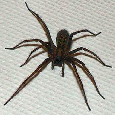 giant-house-spider.jpg