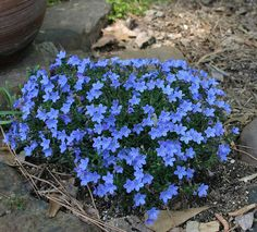 1000 Images About Lithodora On Pinterest Evergreen