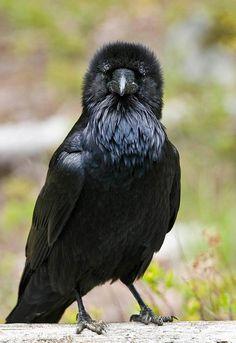 Common Raven ( L: Corvus corax / N: Ravn ).