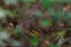 Kalij Pheasant,  Its not only you who blend in with environment and sit silent, waiting for birds and thinking that you are not being seen, you better think again...!  This is just one of the many experiences where I found myself totally amazed by the watchful eyes looking directly at me through the dense foliage. This time it was a kalij Pheasant-female in Margallah Hills, Islamabad.