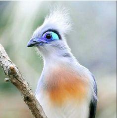 blue eyed bird
