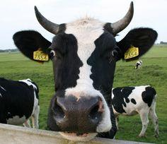 Ilusão de ótica: dois rostos na cabeça de uma vaca! : E-farsas.com ... www.e-farsas.com590 × 510Pesquisa por imagem cow-optical-illusion