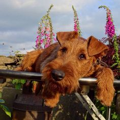 Loving Irish Terrier