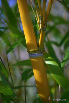 Yellow Groove Bamboo, via Flickr.