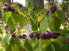 I took this picture the first time I saw the berries on the beautyberry bush.