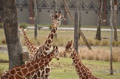 Disney's Animal Kingdom Lodge & Villas | Pinned by Mousefan in a Minivan | #disneyworld #disney #resort #hotel #travel #vacation