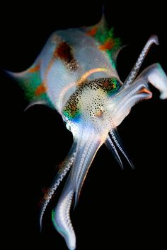 incredibly colorful squid