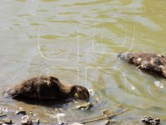 Duck Animals, Animales, Animaux, Animal, Animais