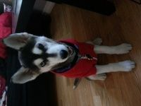 Image result for 6 month old siberian husky weight
