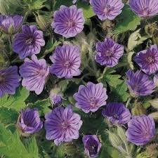 Geranium bohemicum L.