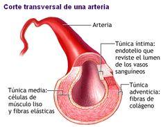 Estructura de una arteria. estrutura da, de una, sistema cardio, estructura de, circulatori system, da artéria, una arteria