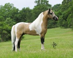 Beautiful buckskin pinto miniature horse