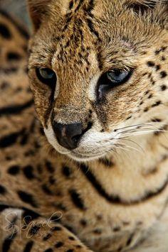 Hunter blue eyed serval