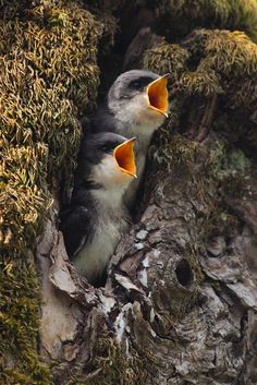 Baby Tree Swallows Screaming for Their Supper by Jonkman Photography