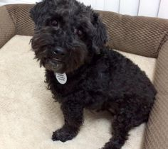 Rich -  Speciality Male / Neutered Fee $300  Foster Location Mississauga, ON  Breed Guess Schnauzer Cross  Age 10 Years Old Weight 15 Lbs