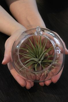 New arrivals: Tillandsia airplants and mouthblown hanging glass balls for interior decoration.  Uutuuksia saapunut: Tillandsia-ilmakasvit ja suupuhalletut, ripustettavat lasipallot kotiin koristeeksi.