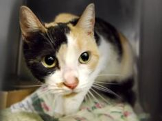 *** GONE 10/31/16 ***. **This gorgeous, young and healthy calico girl killed by NYCACC!