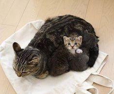 Mamma gatta con il gattino che spunta fuori.