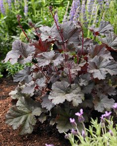 Companion Gardening Heuchera-Best-Companion-Plants-for-Hostas—Longfield-Gardens - Hostas can hold their own in a shade garden, but pairing them with bulbs and other perennials will accentuate their natural beauty and extend the season. Shade Garden Plants, Hosta Plants, Shade Perennials, Shade Shrubs, Garden Shrubs, Flowering Plants, Landscaping Plants, Front Yard Landscaping, Residential Landscaping