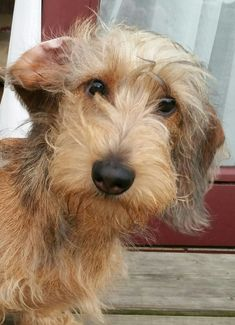 Be still my heart - this little darling blond wire haired looks just like our in-house studio dachshund - Mia! Dachshund Puppies, Dachshund Love, Cute Puppies, Cute Dogs, Dogs And Puppies, Daschund, Doggies, Long Haired Miniature Dachshund, Wire Haired Dachshund