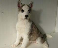 Husky puppies for sale in Seattle. Beautiful Jasmine has bright blue eyes and such a great personality. Her parents are gentle and loving family companions. Jasmine has been family raised around other pets. Husky Puppies For Sale, Husky Puppy, Mini Huskies, Bright Blue Eyes, Jasmine, Cute Dogs, Seattle, Personality, Parents