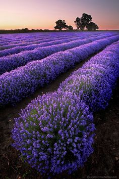 in fields of lavender...