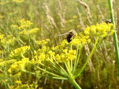 Fenchelblüte mit Fliege Plants, Animals, Nature, Animales, Animaux, Plant, Animal, Animais, Planting