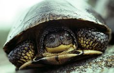 Blanding's Turtle (Emydoidea blandingii) Threatened. These turtles can survive in the wild for more than 75 years.