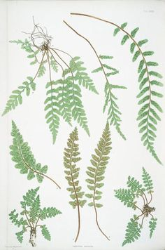 ferns - would like this as a print