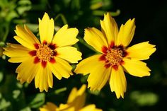 Coreopsis: Perennial wildflower thrives in dry to average soil. Blooms late spring to early summer; deadheading will prolong. 'Baby Sun' and 'Sunray' species don't sprawl. 'Sunfire' and'Sternthaler' bloom until frost. Zones 3 to 8.