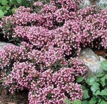 Andromeda polifolia 'Nikko' Salgsh. 5-15 cm. - Rosmarinlyng (GS) Nikko, Planter, Gardening, House, Home, Lawn And Garden, Homes, Houses, Horticulture