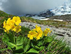 Primula auricula on the Eiger by mmattus