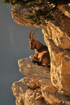 mountain goat with a view of the horizon