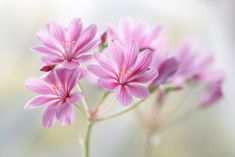 Lewisia by Mandy Disher Mandy Disher: Photos Purple Flowers Wallpaper, Light Pink Flowers, White Flowers, Gerbera, Think Positive Words, Blurred Lights, Cool Landscapes, Hd Images, Amazing Flowers