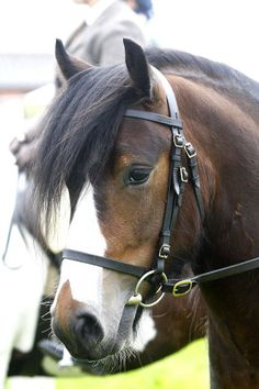 A Welsh Pony, I used to have one, his name was flame. Now older I see how apropo the name was. Welsh ponies have a naughty streak in them.