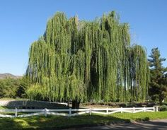 Weeping Willow tree.....sigh...not so great in our arid desert climate...but love a weeping willow :)