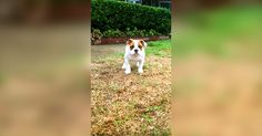 A+Bulldog+Puppy's+First+Time+In+The+Rain+Is+Absolutely+Precious!+ +The+Animal+Rescue+Site+Blog