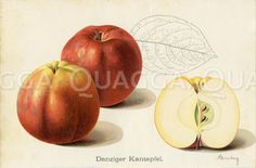 Apfel, Apfelsorte: Danziger Kantapfel